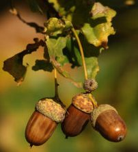 bolota or lande, which acorn is it?