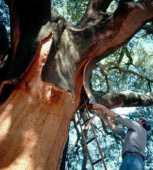 cortiça, cork, kurk oogst Algarve, Portugal