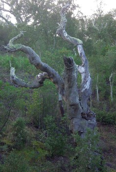 dead cork tree in S. Marcos da Serra